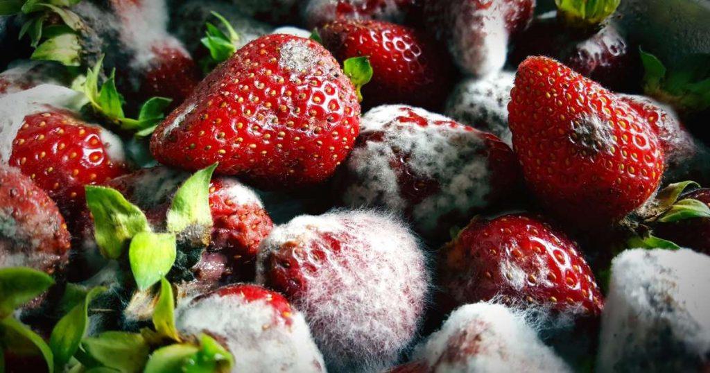 fungus on strawberry
